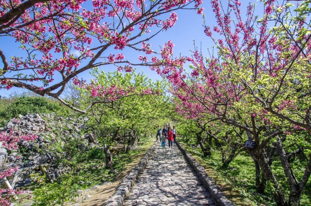 日本100名城|沖繩賞櫻勝地今歸仁城x感受櫻花與古城的魅力