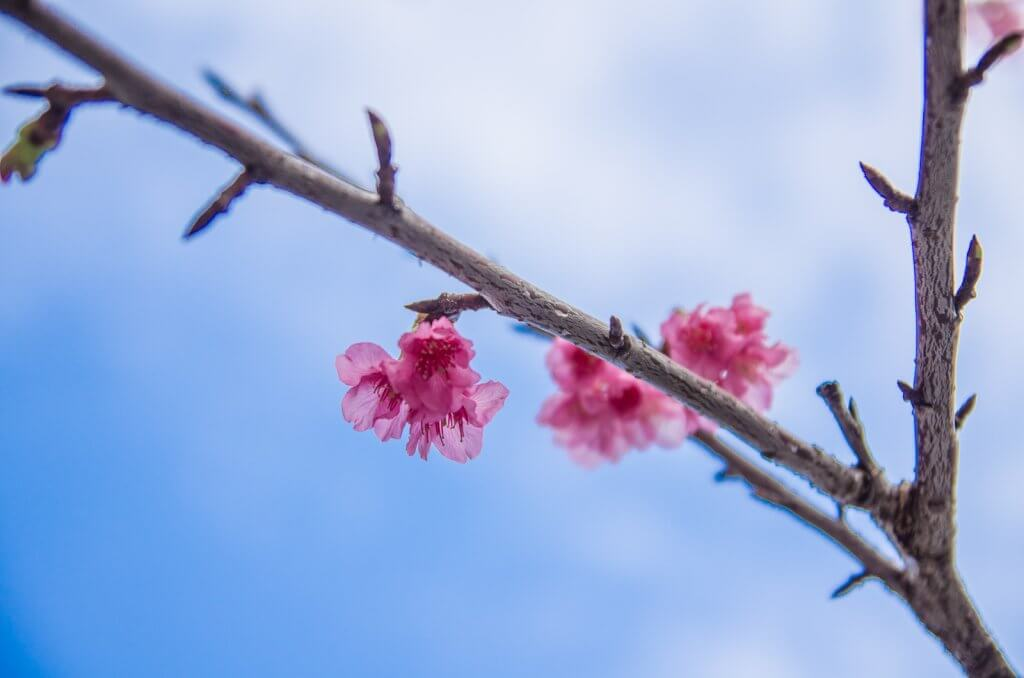 沖繩賞櫻|那霸市民的賞櫻景點x與儀公園櫻花季