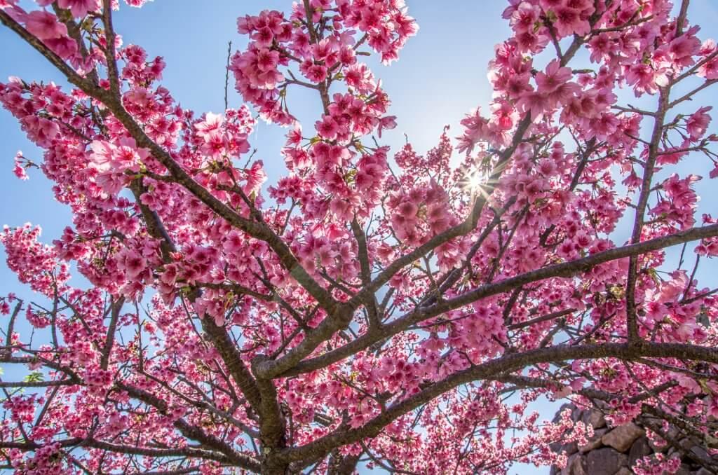 今歸仁城的櫻花在1月底開始會慢慢開花