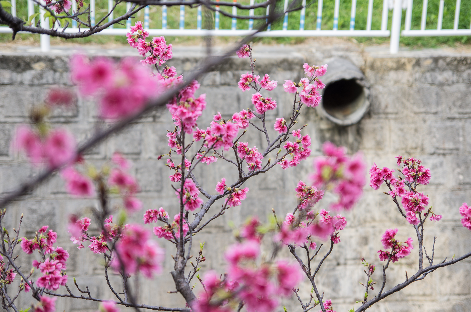 與儀公園櫻花