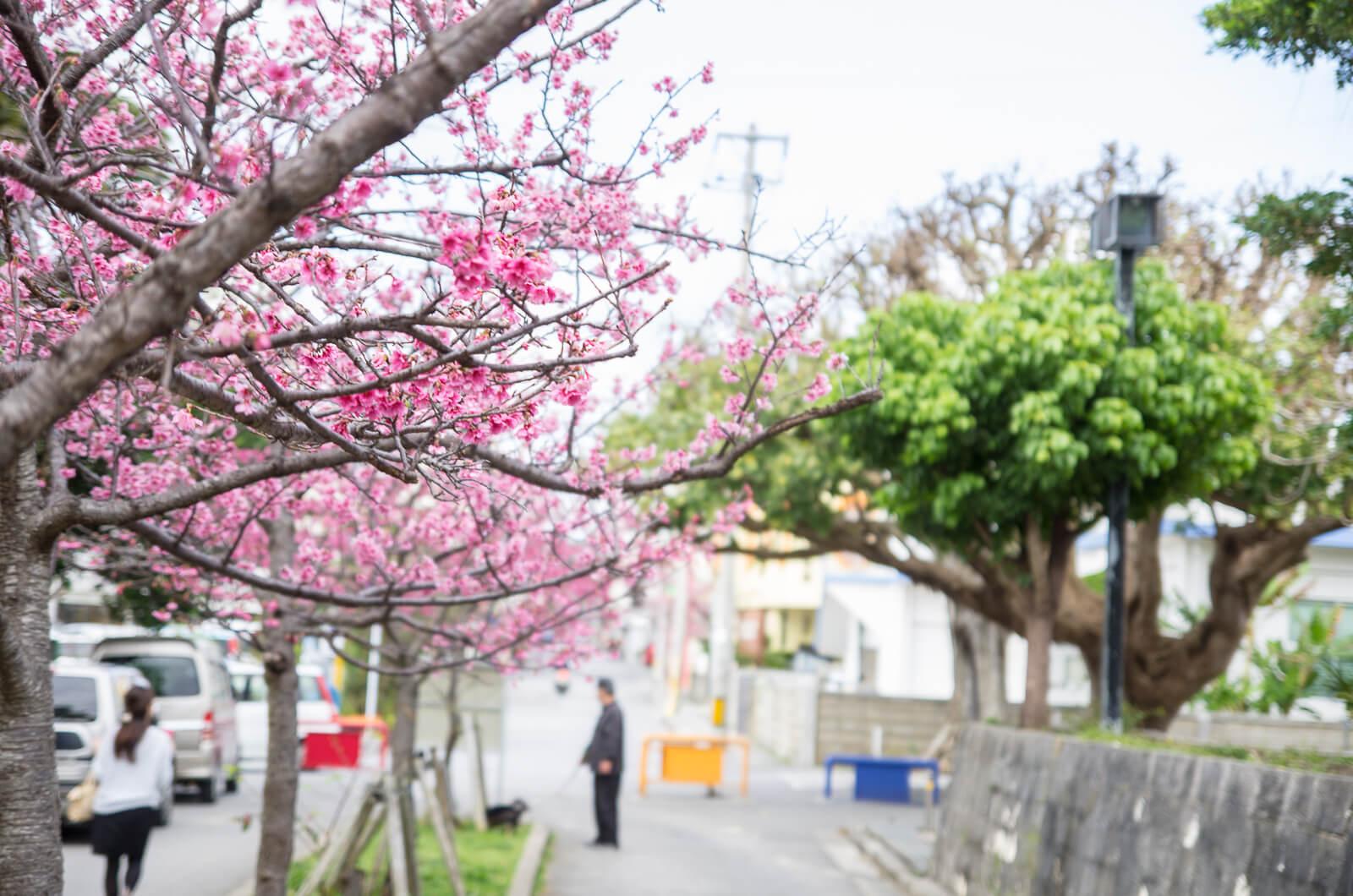 沖繩櫻花2018