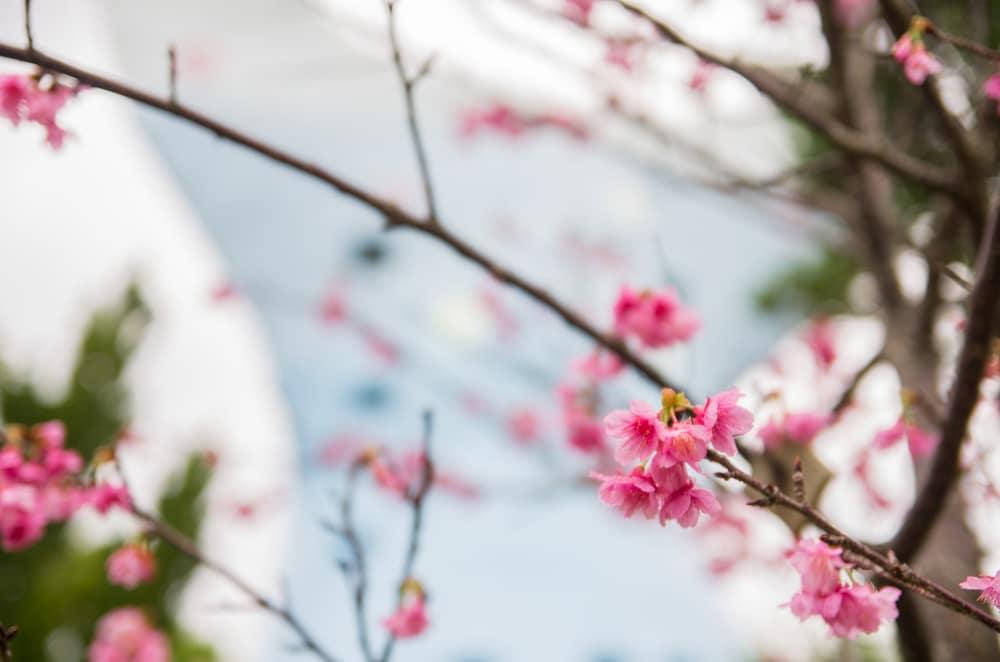 漫湖那霸美櫻祭