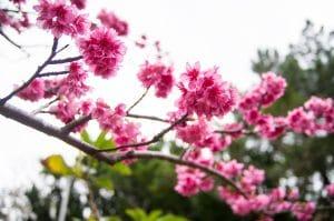 【沖繩賞櫻】漫湖那霸美櫻祭・在地人的賞櫻景點