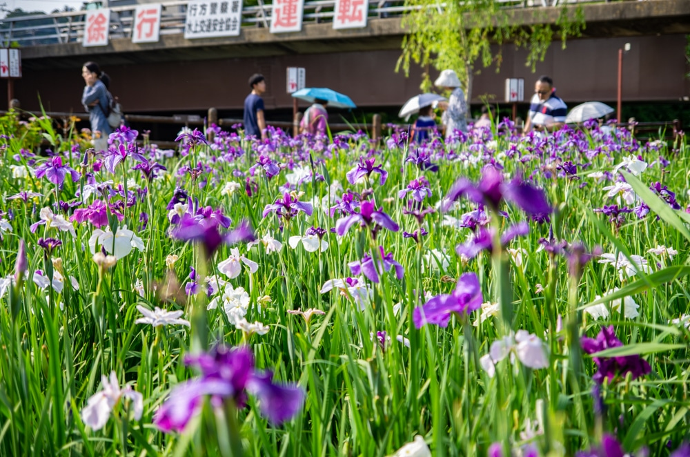 水鄉潮來菖蒲花祭