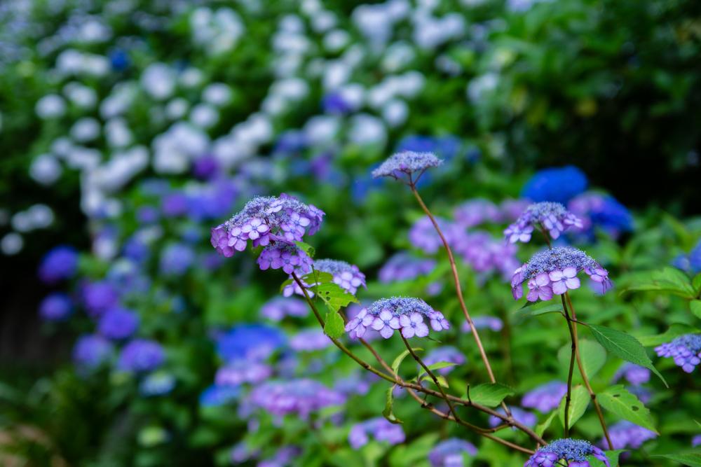 二本松寺繡球花