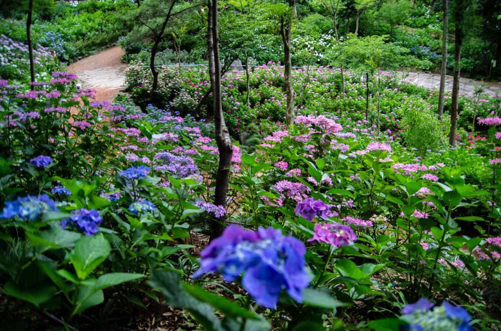 二本松寺繡球花之杜