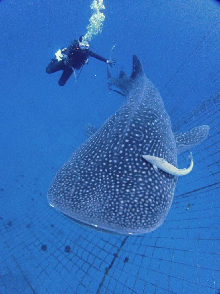 沖繩鯨鯊潛水
