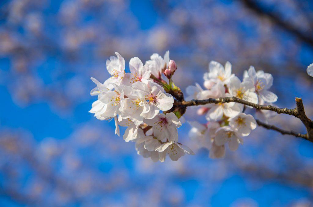 隅田公園櫻花開花時間