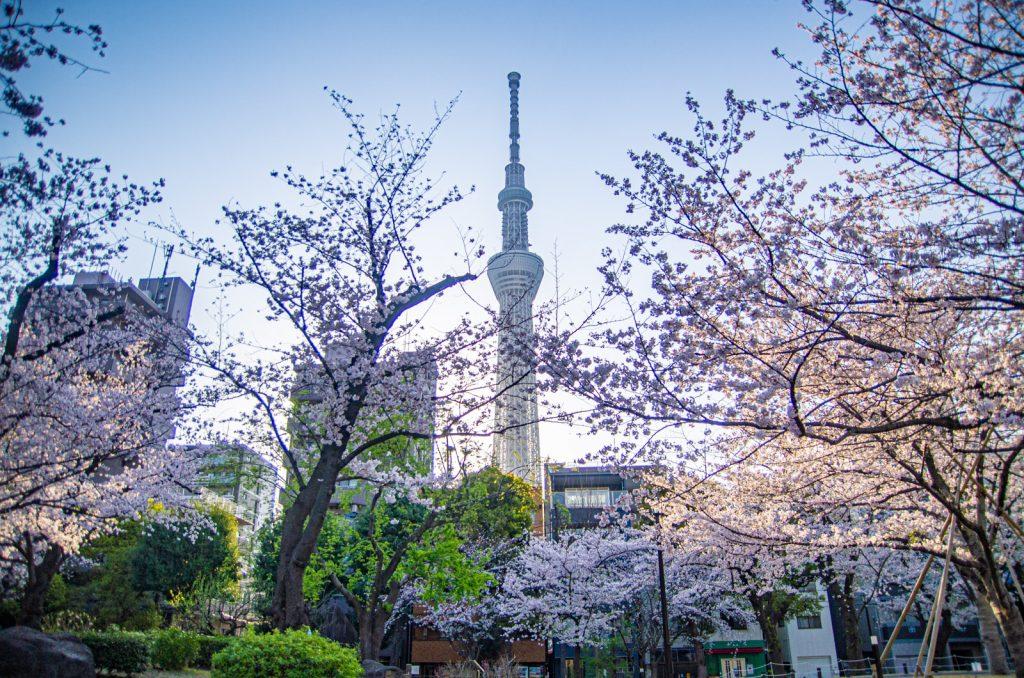 晴空塔與櫻花