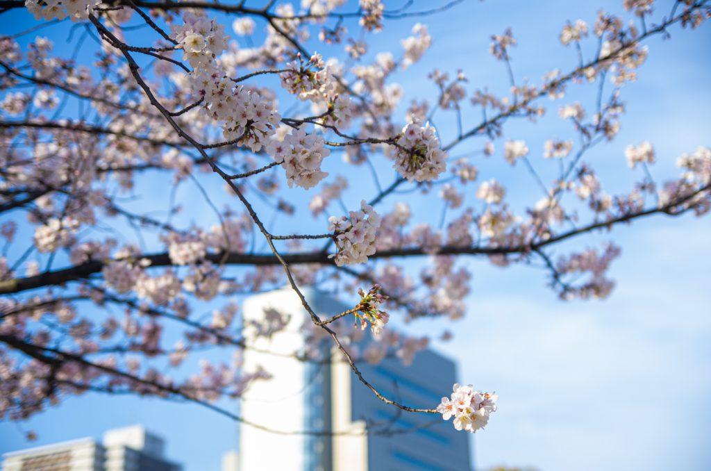 隅田公園櫻花