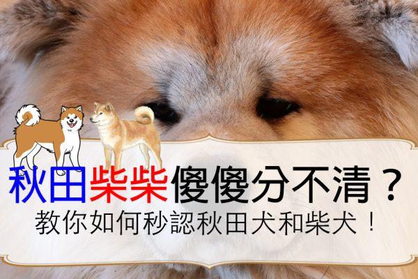 秒懂柴犬和秋田犬的差別!體型個性完全不一樣!
